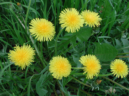 Dandelion: Herbalists endorse dandelion root as one of the most effective detoxifying herbs.